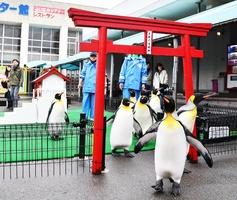 初詣の練習を終えて帰るペンギンたち=12月26日、福井県坂井市の越前松島水族館