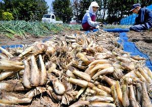収穫された「一年掘り」のラッキョウ=5月22日、福井県坂井市三国町米納津
