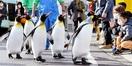 オウサマのお通りだぞ 坂井・松島水族館 ペンギ…