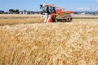 健康もち麦栽培広がる 血糖値、コレステロール抑制に効果 高い人気、4JA品種変更 ふくい農林水産スポット