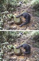 水たまりに生息する沢ガニを食べるチンパンジー(チューリヒ大のキャサリン・クープス博士提供)