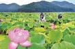 まるで極楽の景色…ハス田は花盛り