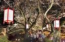 満開の桜優しく照らす、足羽川左岸
