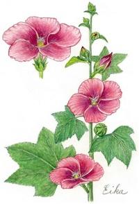 【レッツ!植物楽】タチアオイ(立葵) アオイ科 古代の渡来美人