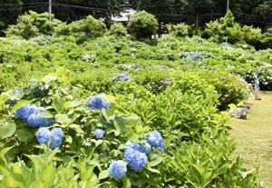 シカが新芽を食べたため2割程度の開花となっている若狭瓜割名水公園のアジサイ園=6月19日、福井県若狭町天徳寺
