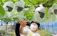 甘~いブドウ にんまり 越前市 観光農園あす開園 招待の子ども、収穫満喫