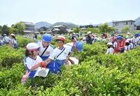 児童が茶摘み、地元産業を体感