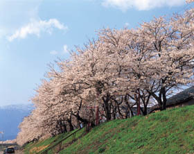 九頭竜川沿い1.5キロに1000本の桜が並ぶ