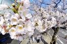 全国の桜開花予想、2020年一覧