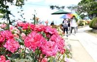 鮮やかバラ五湖に映え レインボーライン山頂公園 サツキも間近 バラ風味スイーツ満喫を 23日まで「フェア」