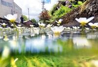 清流に咲く涼の情緒 越前市・治左川 バイカモ見頃