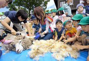園児たちが見守る中、毛を刈られるヒツジの「モコ」=26日、福井市の足羽山公園遊園地
