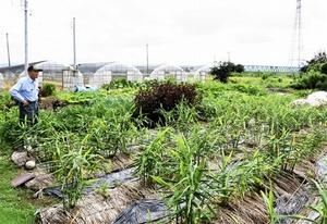 先祖代々の教えを守り、キュウリを栽培しない畑。育てているのはショウガやシソなど=福井市網戸瀬町