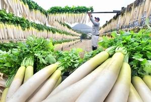 寒風の中、次々に干される大根=12月5日、福井県福井市