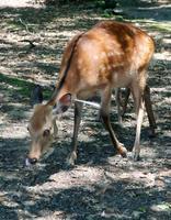 首に矢のようなものが刺さった「奈良のシカ」(一般財団法人奈良の鹿愛護会提供)