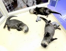 3匹そろってボーズを決める「越前コツメ女子」=福井県坂井市の越前松島水族館提供