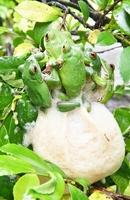 枝に付けた白い泡の塊の中に産卵するモリアオガエル=25日、福井市足羽上町の福井市自然史博物館前