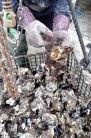 付着物が多く、死滅したものが目立つ「若狭かき」=12月3日、福井県小浜市甲ケ崎