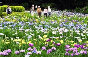 見頃を迎えている色とりどりのハナショウブ=6月15日、福井県あわら市の北潟湖畔花菖蒲園