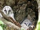 フクロウ2羽、木の洞ですくすく