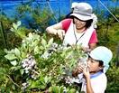 ブルーベリー甘酸っぱい 高浜・農園 園児が収穫…