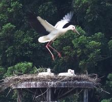 巣立ちを前に羽ばたきの練習をする「やまちゃん」=6月16日、福井県越前市安養寺町
