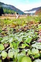 福井市で初霜が観測され、道端の草も白く薄化粧した=11月22日午前8時40分ごろ、福井市神当部町
