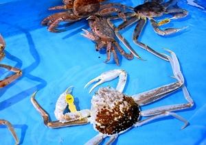水槽内でひときわ目立っている白いズワイガニ=2月19日、福井県坂井市の越前松島水族館