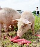 とみつ金時餌に放牧豚ブランド化