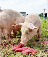 遊休地に放牧された豚。従来廃棄していたとみつ金時の端材を餌にして育て「あわらポーク」としてブランド化を目指す=29日、福井県あわら市北潟