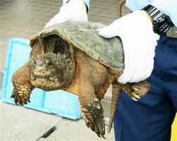 福井県敦賀市の笙の川堤防で見つかったカミツキガメ=14日、敦賀警察署