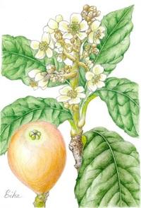 【レッツ!植物楽】ビワ(枇杷) バラ科 鳥が花粉を運ぶ鳥媒花