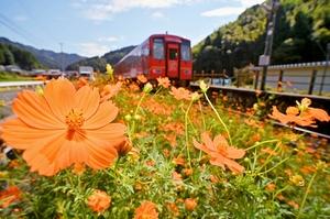 JR越美北線の線路脇で、オレンジ色の花を咲かせるキバナコスモス=9月9日、福井県福井市計石町