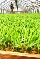 ハウス内ですくすく育ち、田植えを待つハナエチゼンの苗=4月11日、福井県福井市末広町