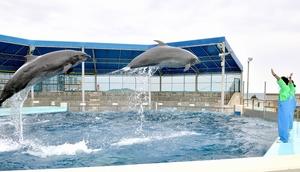 5月11日の開館に向け、トレーニングするイルカ=9日、福井県坂井市の越前松島水族館