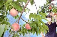 昨年の被害乗り越え、甘くて果汁たっぷりのピンクの実 早生のモモが収穫期 福井県鯖江市