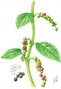 【レッツ!植物楽】 コショウ(胡椒) コショウ科 世界を変えた植物