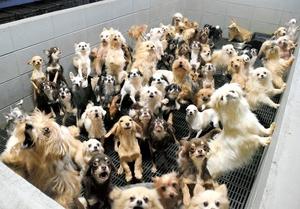 ブロックで囲まれた「マス」にすし詰め状態になっている犬たち=2017年12月、福井県坂井市内(県内動物愛護グループ提供)
