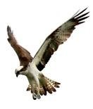 ミサゴ 餌の魚めがけ急降下 三方五湖野鳥辞典