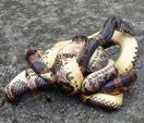 蛇が共食いする貴重な映像を撮影