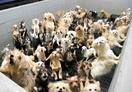 「子犬工場」業者と飼育員書類送検