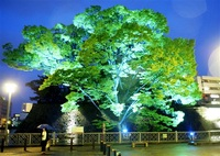 魅力発信ライトアップ お堀西側アキニレ、福井神社イチョウ 中心市街地 夜間の回遊性向上へ