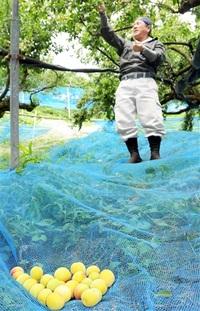 南越前中心に栽培「黄金の梅」 製菓材料でブランド化 都市高級店に販路 生産者拡大を刺激 ふくい農林水産スポット