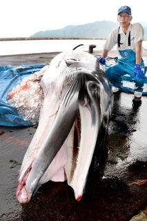 小浜漁港でミンククジラ水揚げ
