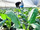 イタリア原産野菜、福井で収穫最盛