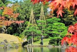 色づき始めた養浩館庭園で始まった雪つり作業=1日、福井市宝永3丁目