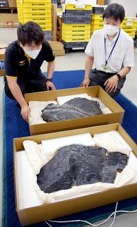 海の猛者の化石、福井県立恐竜博物館に続々 世界最古魚竜の化石も、7月16日から特別展
