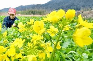 伝統野菜「黒河マナ」収穫…