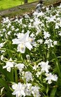 見頃を迎えた若狭国吉城歴史資料館周辺のシャガの花=福井県美浜町佐柿