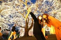 ふくい桜まつり開幕、咲き誇る夜桜
